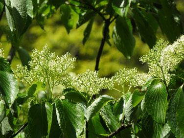 水木の花(みずきのはな)親水公園210418撮影 1331