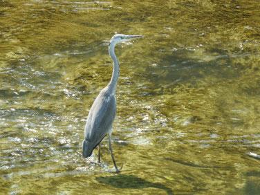青鷺(あおさぎ) 散策路河川 200816撮影 535