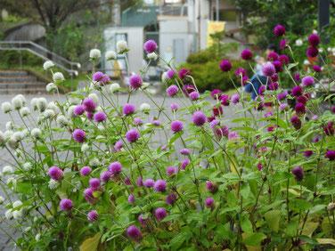 千日紅(せんにちこう) 散策路 200927撮影 423
