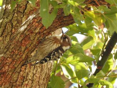 コゲラ(小啄木鳥) 庭 170211撮影 65