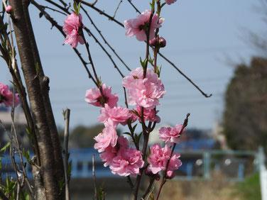 桃の花(もものはな) 散策路 190327撮影 675