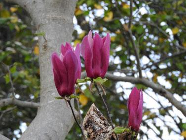 紫木蓮(しもくれん) 散策路 180407撮影 428