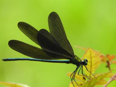 羽黒蜻蛉(はくろとんぼ)散策路池 190702撮影 346