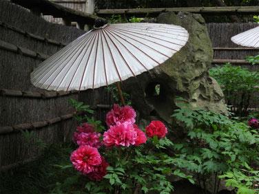 牡丹 鎌倉神苑ぼたん庭園 160429撮影 51