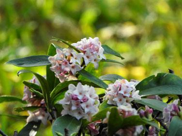 沈丁花の蕾(じんちょうげ)親水緑道210310撮影 1198