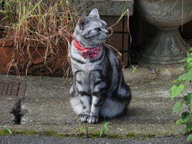 猫 アメリカンショートヘア 散策路 170903撮影 111