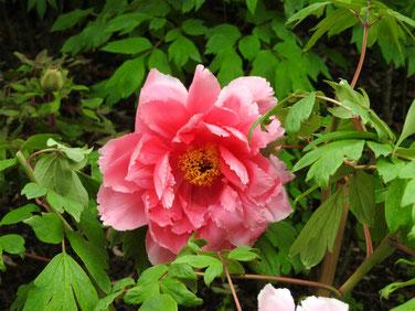 牡丹 鎌倉神苑ぼたん庭園 160429撮影 55