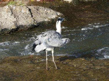 青鷺(あおさぎ) 散策路河川 191216撮影 444