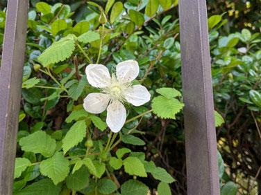 白花蛇苺(へびいちご)スマホ 210527撮影 1480