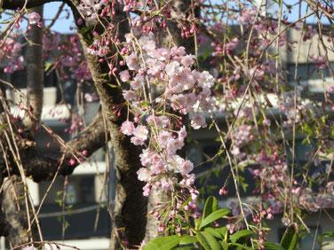 しだれ桜 散策路公園 190406撮影 708