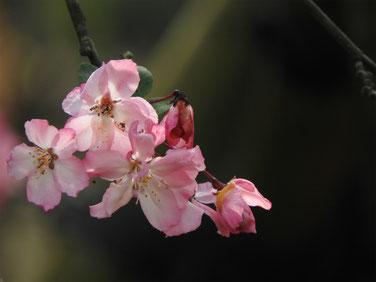 花海棠(かいどう) 海蔵寺 160409撮影 27