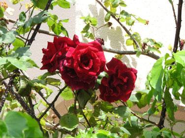 薔薇(ばら) 散策路 200517撮影 1158