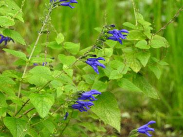 青紫ハーブセージ 散策路 210908撮影 501