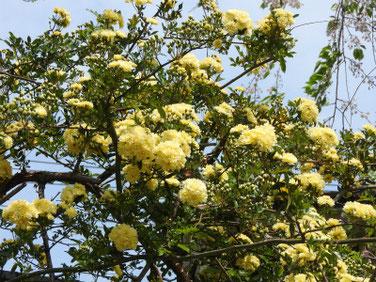 木香薔薇(もっこうばら)黄色 散策路190421撮影 808
