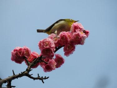 花桃の花とメジロ 散策路 210306撮影 614