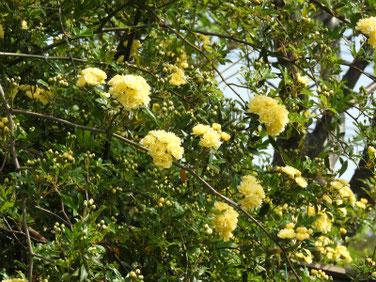 木香薔薇(もっこうばら)黄色 散策路190420撮影 774