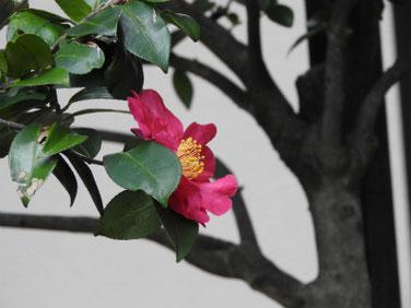 山茶花(さざんか)赤 自宅 171127撮影 208