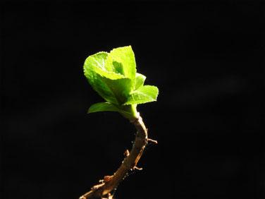 アジサイの芽吹き 緑道 200224撮影 165
