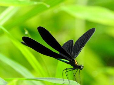 羽黒蜻蛉(はぐろとんぼ)親水緑道210710撮影 635