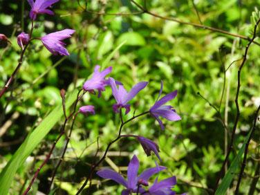紫蘭(しらん) 散策路 200517撮影 1162