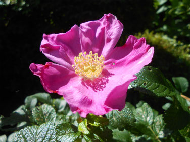 浜茄子の花(はまなす) 散策路公園 190617撮影 547