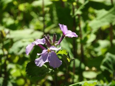 紫花菜(むらさきはなな) 親水緑道 190312撮影 615