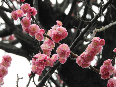 花桃の花(はなもも) 散策路 210305撮影 1199