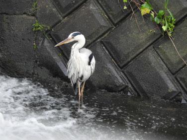 青鷺(あおさぎ) 散策路河川 180621撮影 200