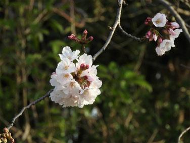 桜(さくら) 散策路 200321撮影 993