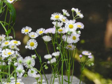 春紫苑(はるじおん) 散策路 180428撮影 488