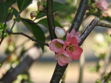木瓜の花(ぼけのはな) 親水緑道 190305撮影 599