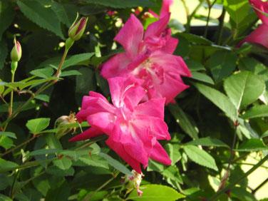 薔薇(ばら) 散策路 210423撮影 1410