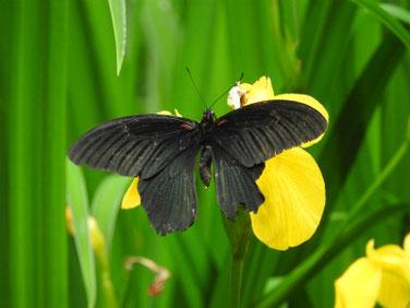 アゲハ蝶と黄菖蒲 散策路公園 190601撮影 336