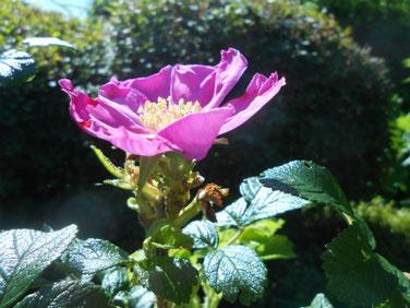 浜茄子の花(はまなす) 散策路公園 190617 撮影 546