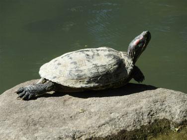アカミミガメ 親水公園池 181029撮影 235