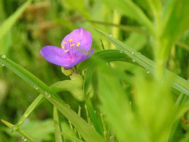 大紫露草(おおむらさきつゆくさ)散策路190504撮影 852