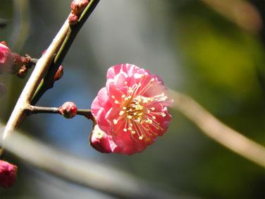 梅の花 散策路170104撮影 14