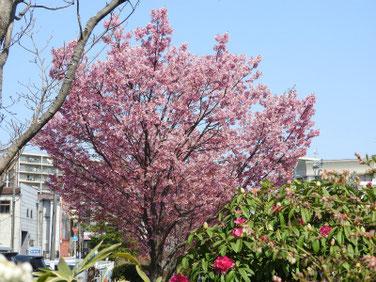 陽光桜(ようこうざくら)散策路公園190327撮影 678
