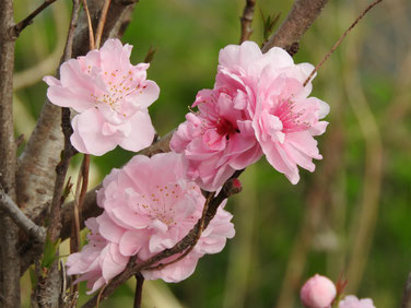 桃の花 散策路 160329撮影 21