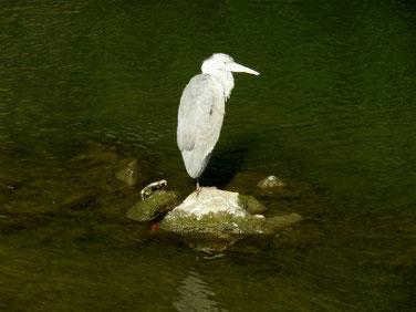 青鷺(あおさぎ) 散策路河川 201118撮影 567