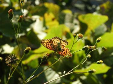 小栴檀草と蝶 散策路 161112撮影 28