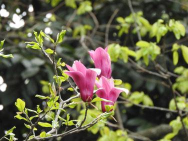 紫木蓮(しもくれん) 散策路 190414撮影 735