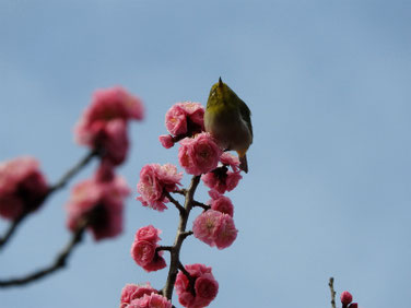 花桃の花とメジロ 散策路 210306撮影 613