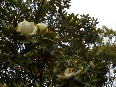 泰山木(たいさんぼく) マクロ 210519撮影 1431