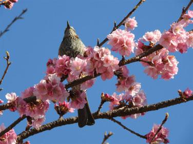 河津桜とヒヨドリ(鵯) 散策路 180302撮影 147