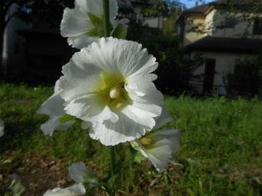 立葵(たちあおい) マクロ 210526撮影 1470