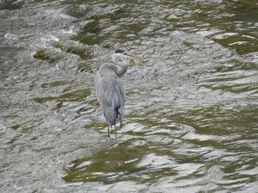 青鷺(あおさぎ) 散策路河川 190820撮影 375