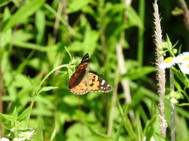 散策路の蝶(ちょう) 170527撮影 96