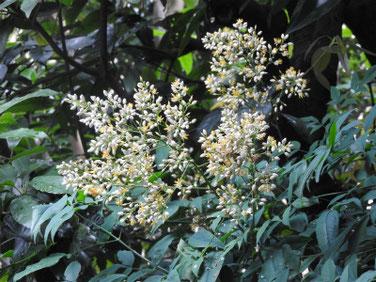南天の花(なんてん) 自宅庭 190608撮影 530