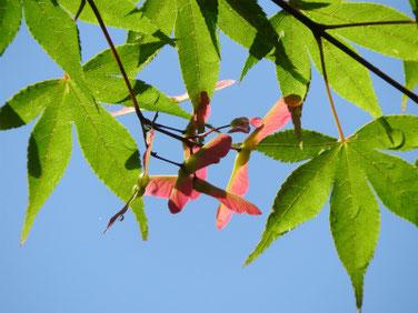 楓の翼果(カエデのよくか)親水緑道 200517撮影 1156